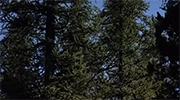 Дерево смерека