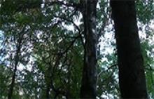 Дерево бук
