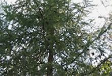Дерево модрина