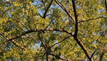 Дерево вільха